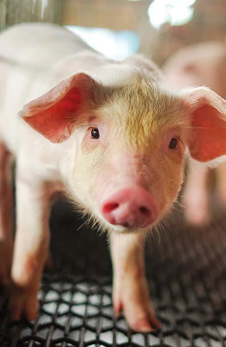 prosię - eksport mięsa wieprzowego do USA