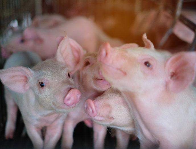 european pork