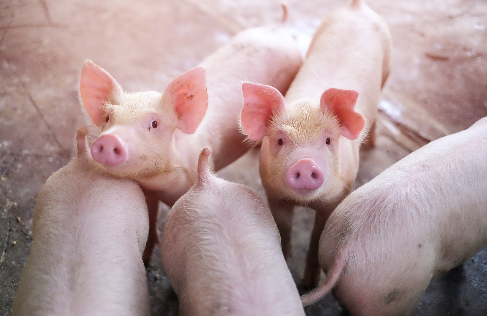 Changing trends in pork consumption in European Union countries